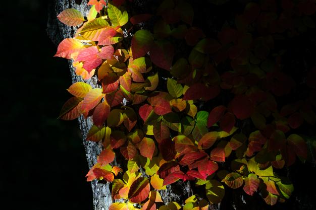つた漆の秋色