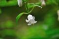 タカネハンショウヅル(白)