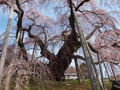 4/14 三春の滝桜 根本