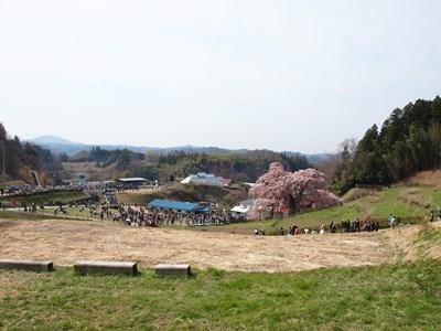 4/14 三春の滝桜 上から