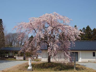 4/14 三春町歴史民俗資料館の枝垂れ桜
