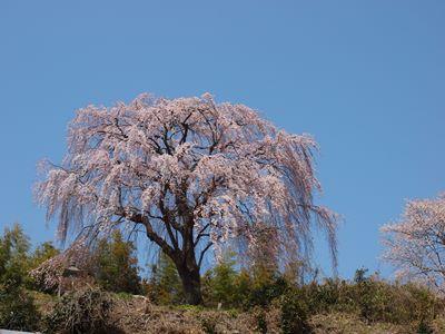 4/14 三春町 光岩寺の枝垂れ桜