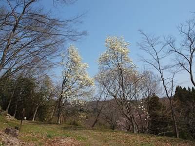 4/14 城山公園の桜とこぶしの花  三春町