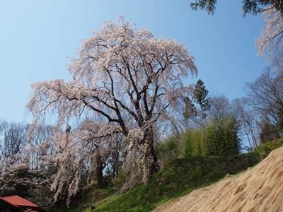 4/14 城山公園からの下りで見かけた枝垂れ桜  三春町