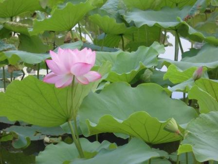 不忍池ハスの花