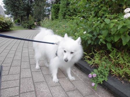 2013-9 朝散歩チョコ1