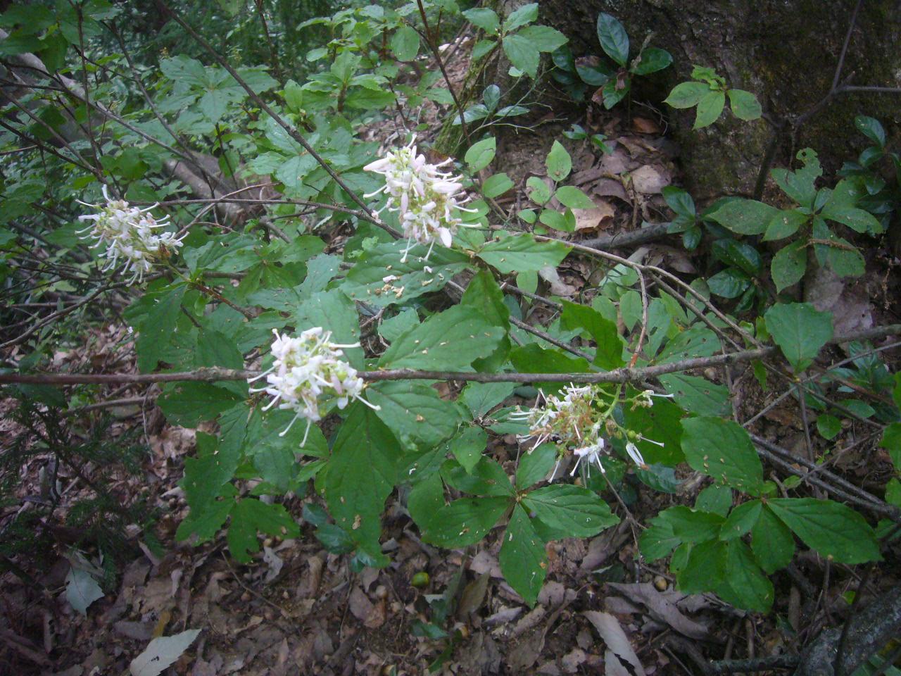 文殊山白い花 H26.9.20撮影