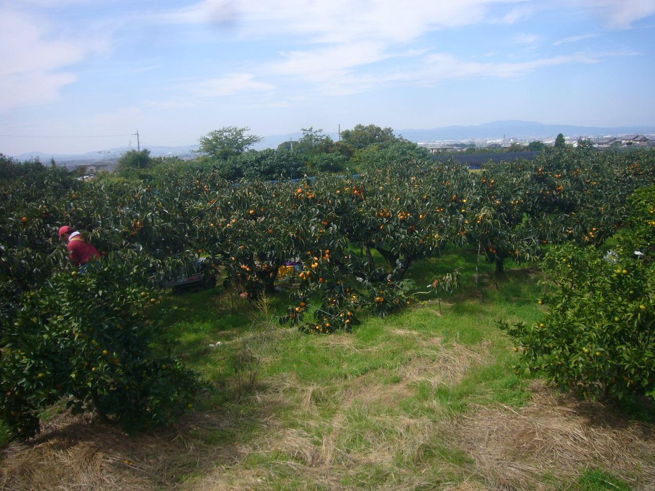 柿の収穫 奈良山の辺の道 H26.10.10撮影