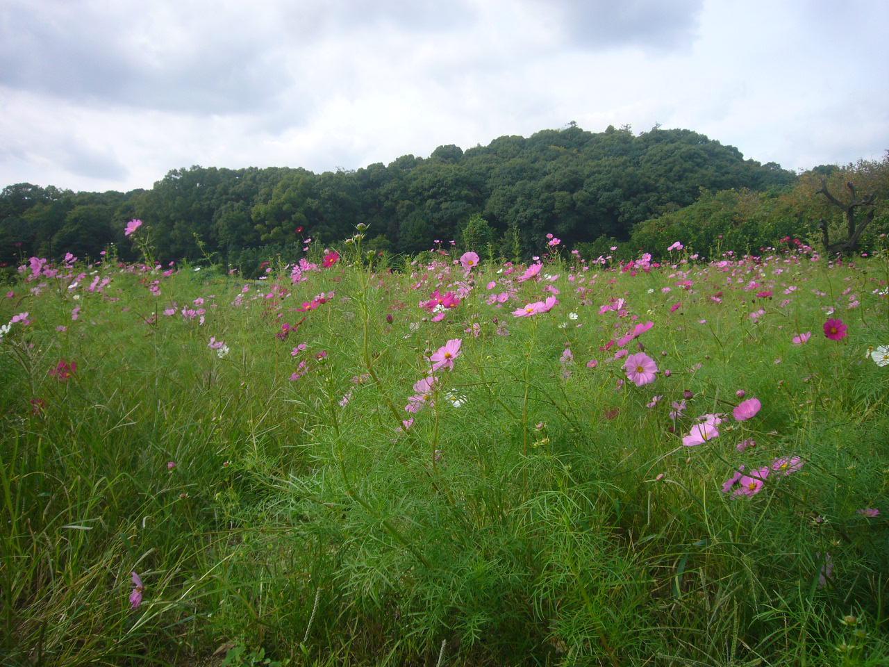景行天皇の陵 全長300M 奈良山の辺の道 H26.10.10撮影