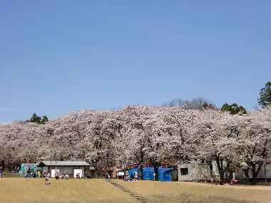 赤城桜2_copy