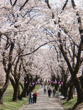 赤城桜1_copy
