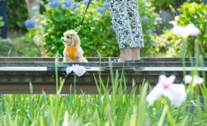トイプードルと花