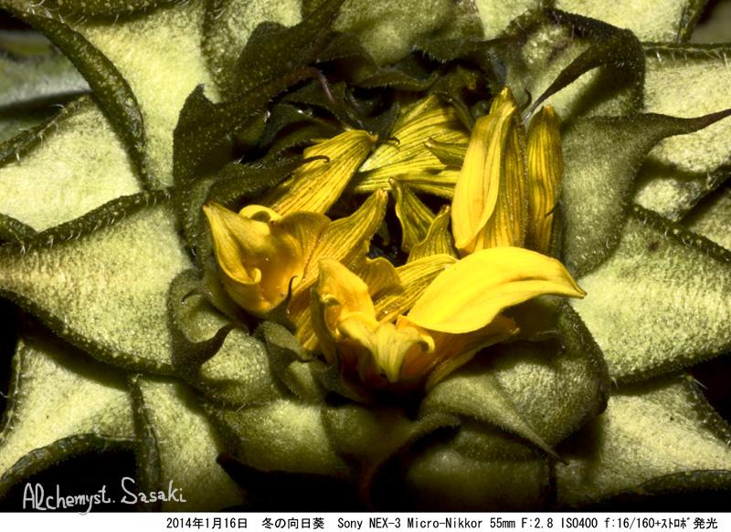 冬の向日葵DSC05842a