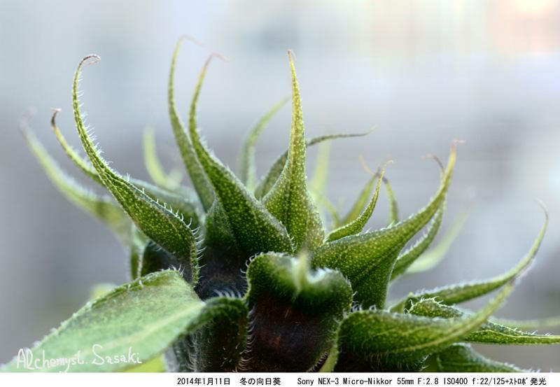 冬の向日葵DSC05623