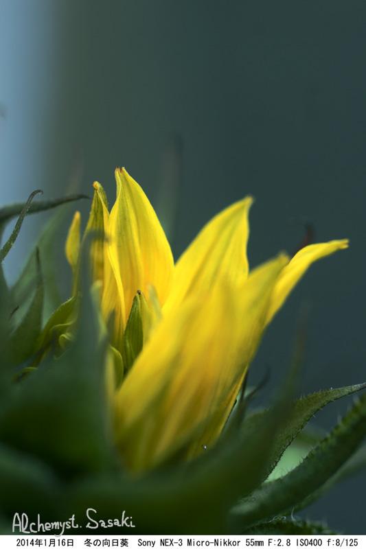 冬の向日葵DSC05785