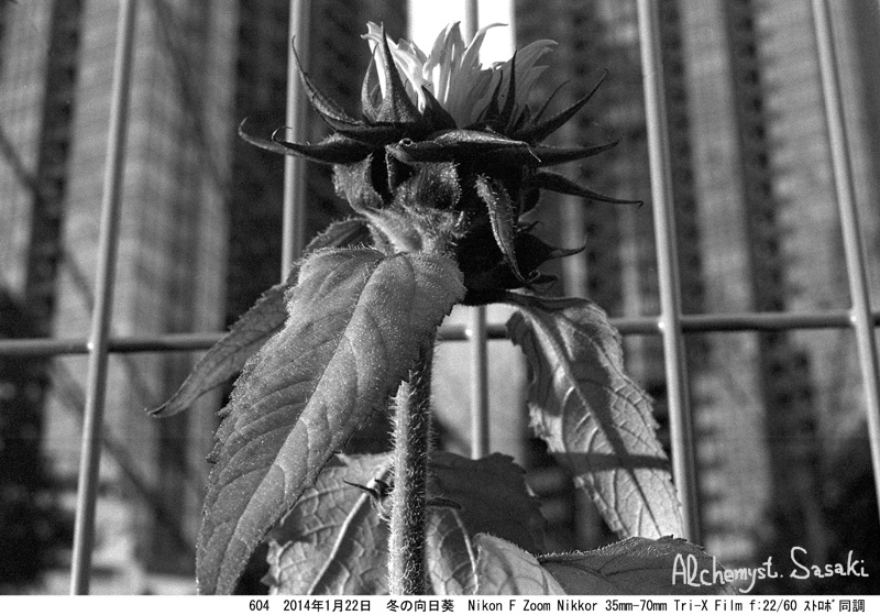 冬の向日葵604-6