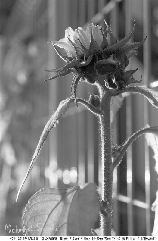 冬の向日葵605-4