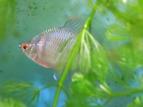タイリクバラタナゴの成魚(オス)