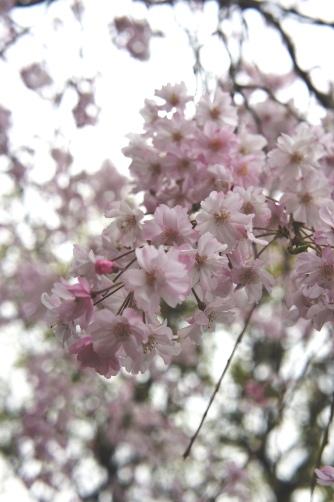 近所の桜2013 ④
