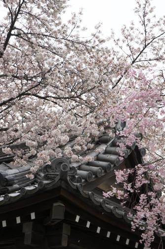 近所の桜2013 ⑨