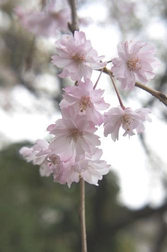 近所の桜2013 ⑤