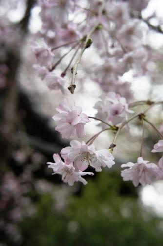 近所の桜2013 ⑥