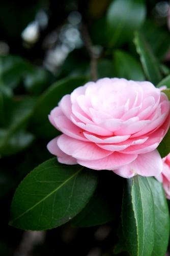 近所の桜2013 ⑦