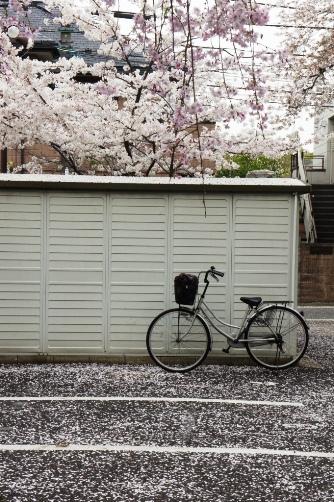 桜に埋もれる自転車