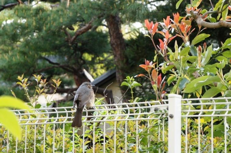 2013-04-15 ひよどり?