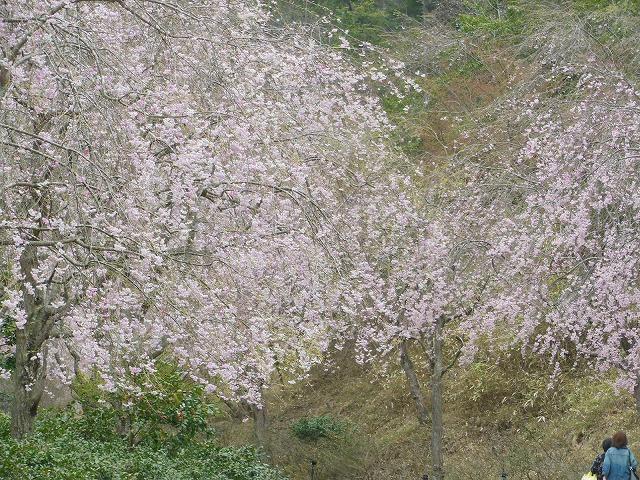 cherry at miho-1