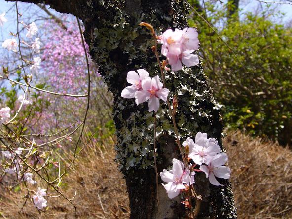 蓮華寺。_桜
