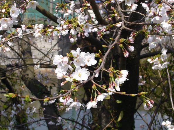蓮華寺。_曲がり角の桜