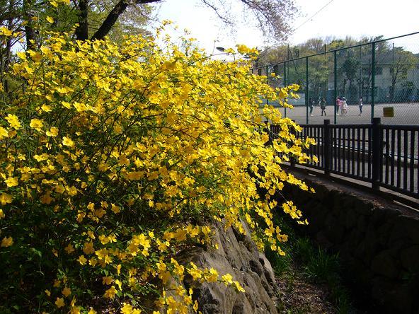 春日向。_山吹