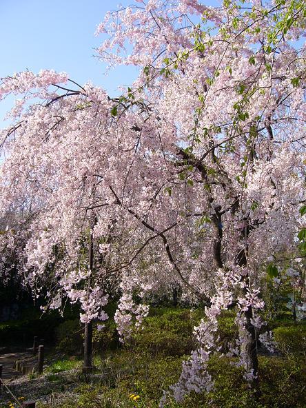 春日向。_しだれ桜