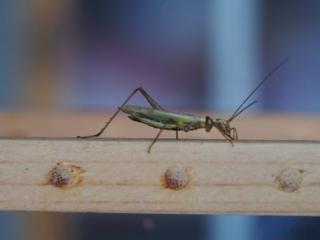 20140913秋の七草と鳴く虫の会 (16)