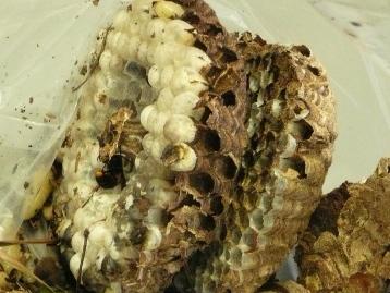 20141012スズメバチの巣 (1)