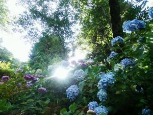 光の中の青い紫陽花
