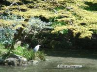 近衛池のアオサギ