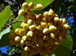 a tree in fruit