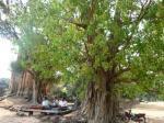 プリアコー大きな木