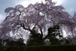 薬樹院の桜
