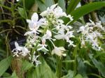 ツルラン花