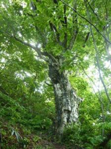 1ブナの巨木