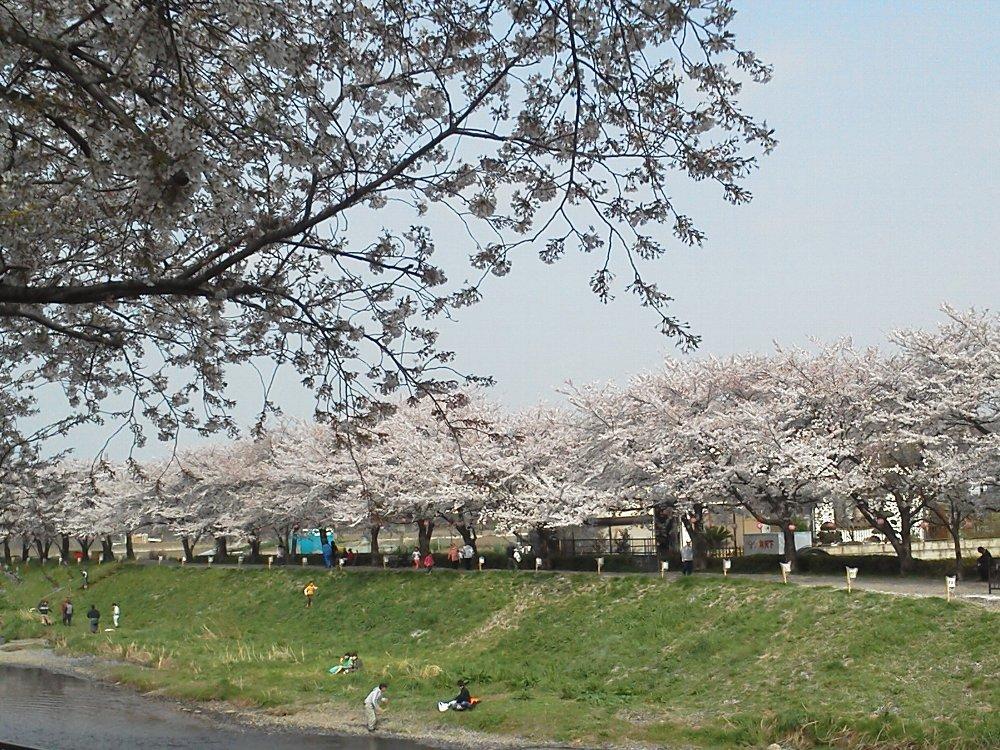 F1000717黒目川満開の桜