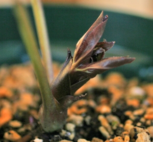 torquatusmontenegroxdumetromx greensmile1701201403