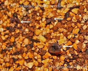 croaticusdouble1301201402.jpg