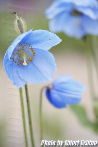 Blue Poppy 青い芥子の花