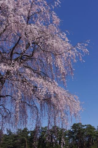 枝垂桜その2