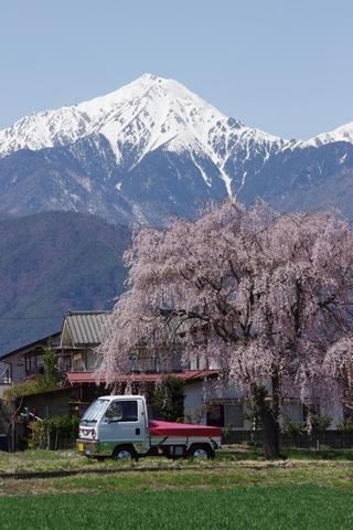 枝垂桜その5