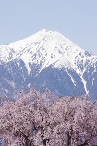 枝垂桜その6